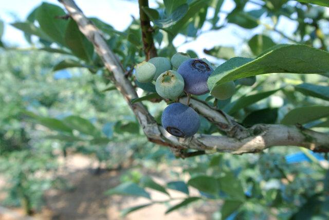 ブルーベリー一番果