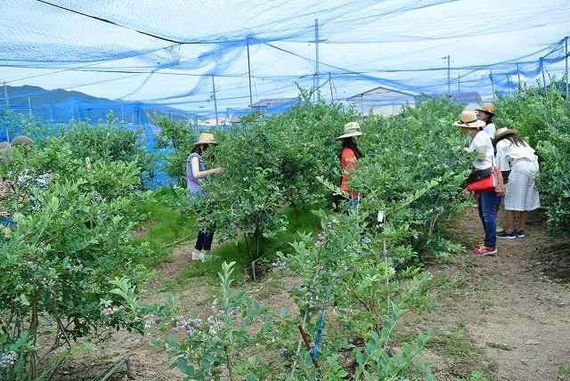 ブルーベリー収穫体験中