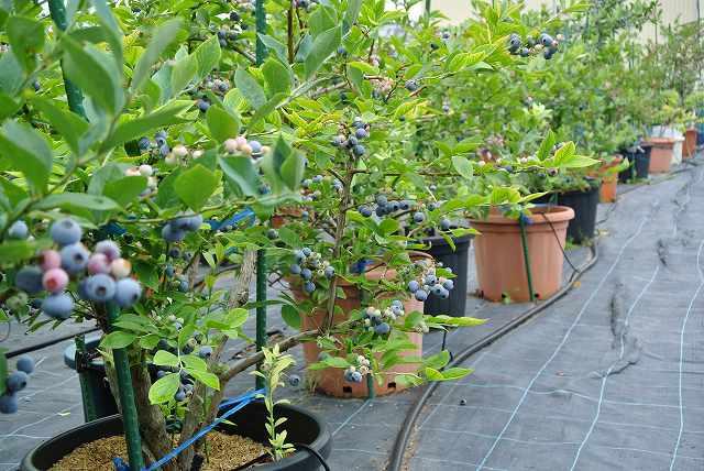 ブルーベリー鉢植え